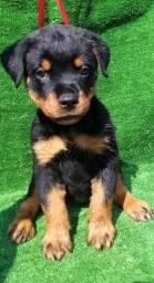 Rottweiler à venda com pedigree *