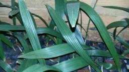 Mudas / sementes Gueiroba - Guariroba