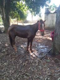 Cavalo (marcha batida)
