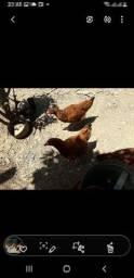 Vendo galinhas Embrapa