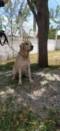 Labradores Padreadores procuram namorada