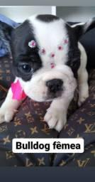 Bulldog Francês filhotes lindos e adoráveis