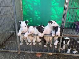Bull Terrier inglês machos e fêmeas a pronta entrega