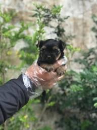 Yorkshire Terrier machos e fêmeas com garantia de saúde!