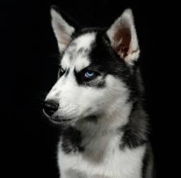 Título do anúncio: Vendo Husky Siberiano com 120 dias em ate 12x