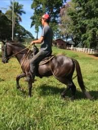 Cavalo Quarto de milha manso 2 anos