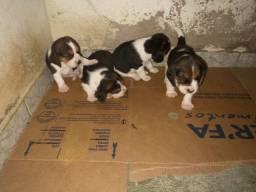 Filhotes Beagle, data de nascimento 04/02/2021 faça sua reserva