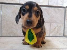 Filhote de Basset Cofap miniatura Arlequim 780$