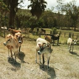 Título do anúncio: Gado Jersey - Fazenda Guanabara