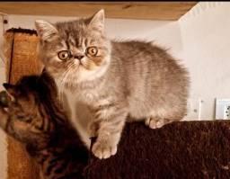 Filhote gato persa exótic