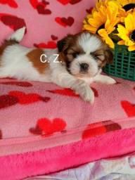 Título do anúncio: Shih Tzu filhotes disponíveis para entrega, cães com pedigree