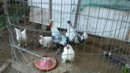 Casal de galinha japonesa e vários franguinho japonesa com apenzzeler