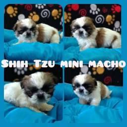 Filhotes macho de shih tzu mini