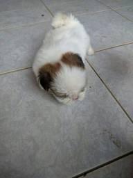 Vende filhote femia de shihtzu. Mini com 32 dias de nacido