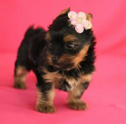 Fêmea De yorkshire Terrier Linda