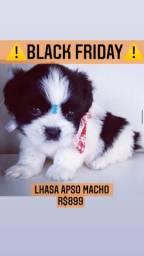 Super promoção! Lhasa Apso lindíssimo R$899