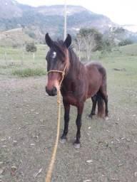 Cavalo MM comum