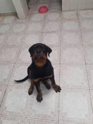 Rottweiler Fêmea 3 meses pedigree