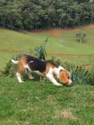 Beagle Mini Alagoas