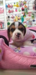 Filhote de beagle femea e macho a pronta entrega