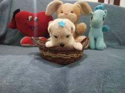 BARBADA !!! filhotes de poodle micro toy legítimos leia