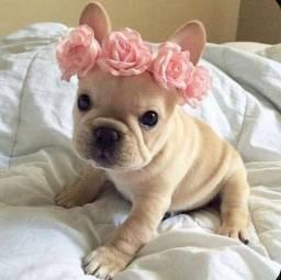 Femeas de Bulldog Frances tem a pronta entrega