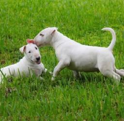 Incríveis filhotes de Bull Terrier