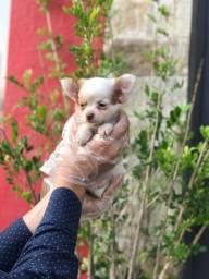 Título do anúncio: Filhotes de Chihuahua Disponiveis