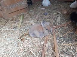 Mine coelhos Lyon vary
