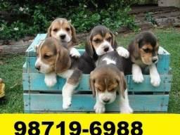 Canil Premium Cães Filhotes BH Beagle Poodle Yorkshire Bulldog Shihtzu Maltês