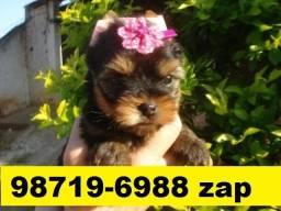 Canil Filhotes Cães Top BH Yorkshire Poodle Lhasa Bulldog Beagle Maltês Shihtzu Pug