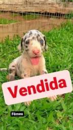 Título do anúncio: 10 filhotes dog alemão