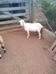 Título do anúncio: Vendo ou troco cabra
