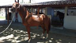 Título do anúncio: Cavalo Puro Sangue Inglês - Apenas venda