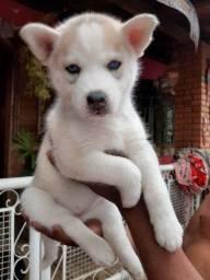 Título do anúncio: Husky Siberiano Fêmea Cinza Olhos Azuis Pedigree
