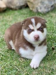 Título do anúncio: Husky siberiano com pedigree e micro chip em até 12x