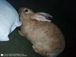 coelha adulta