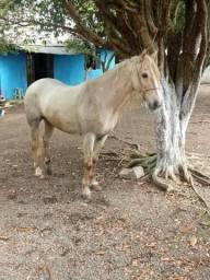 Cavalo crioulo registradro e confirmado