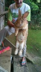 Filhotes coelhos gigantes puross