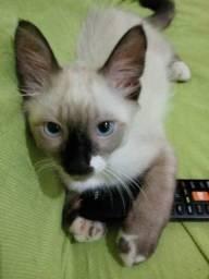 Procura-se Gato Siamês Foi Roubado no sabueiro