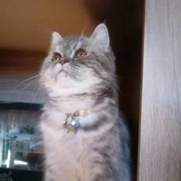 Procuro namorado para esta linda gata persa exótica