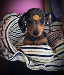 Temos linguicinha dachshund disponível, shitszu, maltês