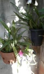 Orquídea troco
