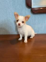 Chihuahua fêmea(ler anúncio)