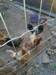 Vendo galo e galinhas.