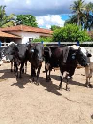 Lote de 70 vacas em lactação
