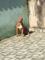 Filhotes de Bully x American pitbull terrier