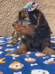 Yorkshire Terrier micro Fêmea bb com 50 dias ja vacinada