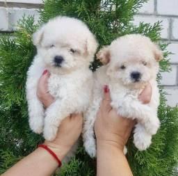 Título do anúncio: Poodle toy lindos filhotes raça pura