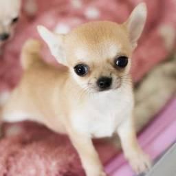 Último filhote de chihuahua Mini!